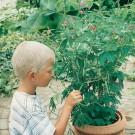 HOBBY, květiny letničky - Citlivka, 9050 (Mimosa pudica)