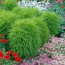 HOBBY, květiny letničky - Cypřišek letní, 9060 (Kochia scoparia)