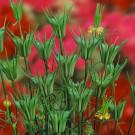 HOBBY, květiny letničky - Černucha východní, 9080 (Nigella orientalis)