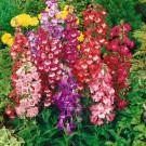HOBBY, květiny letničky - Dračík, 9090 (Penstemon hartwegii)