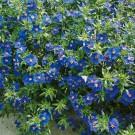 HOBBY, květiny letničky - Drchnička, 9100 (Anagallis monelli)