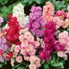 HOBBY, květiny letničky - Fiala letní, 9120 (Mathiola incana)