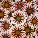 HOBBY, květiny letničky - Gazánie zářivá, 9130 (Gazania splendens)