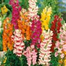 HOBBY, květiny letničky - Hledík větší, 9140 (Antirrhinum majus)