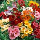 HOBBY, květiny letničky - Hledíkovka, 9150 (Nemesia strumosa)
