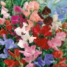 HOBBY, květiny letničky - Hrachor vonný, 9160 (Lathyrus odoratus)