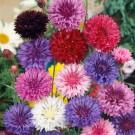 HOBBY, květiny letničky - Chrpa císařská, 9210 (Centaurea cyanus)