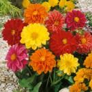 HOBBY, květiny letničky - Jiřinka proměnlivá, 9240 (Dahlia pinnata)