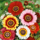 HOBBY, květiny letničky - Kopretina kýlnatá, 9290 (Chrysanthemum carinatum)