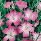 HOBBY, květiny letničky - Koukol polní, 9310 (Agrostema githago)