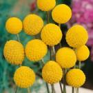 HOBBY, květiny letničky - Kraspédie, 9320 (Craspedia globosa)