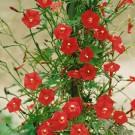 HOBBY, květiny letničky - Kvamoklit, 9340 (Quamoclit cardinalis)