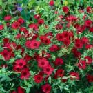HOBBY, květiny letničky - Len velkokvětý, 9370 (Linum grandiflorum)