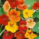 HOBBY, květiny letničky - Lichořeřišnice větší, 9380 (Tropaeolum majus)