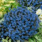 HOBBY, květiny letničky - Lobelka, 9390 (Lobelia sp.)