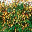 HOBBY, květiny letničky - Mina, 9420 (Mina lobata)