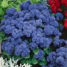 HOBBY, květiny letničky - Nestařec mexický, 9450 (Ageratum mexicanum SIMS)