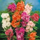 HOBBY, květiny letničky - Netýkavka balsamina, 9460 (Impatiens balsamina)