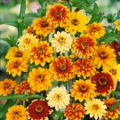 HOBBY, květiny letničky - Ostálka haageova, 9490 (Zinnia haageana)