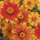 HOBBY, květiny letničky - Ostálka, 9500 (Zinnia marylandica)