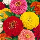 HOBBY, květiny letničky - Ostálka lepá, 9510 (Zinnia elegans)