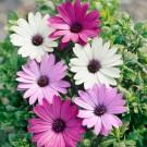 HOBBY, květiny letničky - Osteospermum, 9520 (Osteospermum ecklonis)