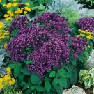 HOBBY, květiny letničky - Otočník, 9540 (Heliotropium arborescens)
