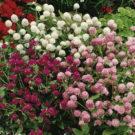 HOBBY, květiny letničky - Pestrovka kulovitá, 9560 (Gomphrena globosa)