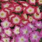 HOBBY, květiny letničky - Petunie, 9570 (Petunia x hybrida hort.)