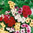 HOBBY, květiny letničky - Plaménka (flox), 9580 (Phlox drummondii)