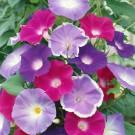 HOBBY, květiny letničky - Povíjnice, 9590 (Ipomoea purpurea)