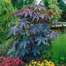 HOBBY, květiny letničky - Skočec obecný, 9600 (Ricinus communis)