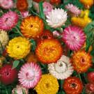 HOBBY, květiny letničky - Slaměnka, 9610 (Helichrysum bracteatum)