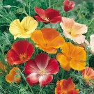 HOBBY, květiny letničky - Sluncovka kalifornská, 9620 (Escholtzia californica)