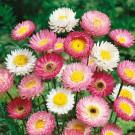 HOBBY, květiny letničky - Smilek růžový (nesmrtelka), 9640 (Helipterum roseum)
