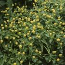 HOBBY, květiny letničky - Spilant, 9650 (Spilanthes oleracea L. (Acmella oleracea (L.)R.K.Jansen))