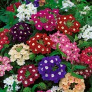 HOBBY, květiny letničky - Sporýš zkřížený, 9660 (Verbena hybrida)