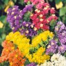 HOBBY, květiny letničky - Statice sinuata (limonka), 9670 (Limonium sinuatum)
