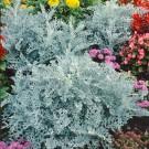 HOBBY, květiny letničky - Starček přímořský, 9680 (Cineraria maritima)