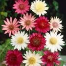 HOBBY, květiny letničky - Suchokvět roční, 9690 (Xeranthemum annuum)