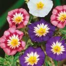 HOBBY, květiny letničky - Svlačec trojbarevný, 9710 (Convolvulus tricolor)