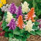 HOBBY, květiny letničky - Šalvěj zářivá, 9720 (Salvia splendens)