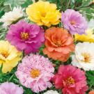 HOBBY, květiny letničky - Šrucha velkokvětá, 9730 (Portulaca grandiflora)