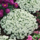 HOBBY, květiny letničky - Tařice přímořská, 9740 (Lobularia maritima (syn. Alyssum maritimum))