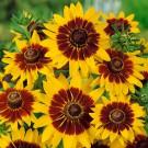 HOBBY, květiny letničky - Třapatka srstnatá (rudbékie), 9760 (Rudbeckia hirta)