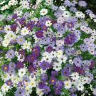HOBBY, květiny letničky - Všelicha iberkolistá, 9800 (Brachycome iberidifolia)