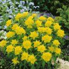 HOBBY, květiny letničky - Pryšec mnohobarevný, 9803 (Euphorbia polychroma)
