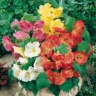 HOBBY, květiny letničky - Abutilion (Mračňák), 9850 (Abutilon x hybridum hort.)