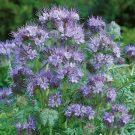 HOBBY, květiny letničky - Svazenka vratičolistá, 9948 (Phacelia tanacetifolia)