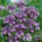 HOBBY, květiny letničky - Svazenka shloučená, 9949 (Phacelia congesta)